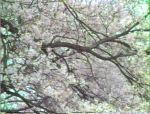Sakura1985