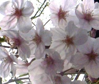 Sakuraimage5